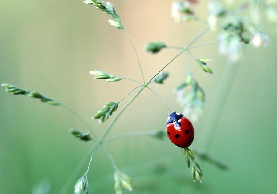 coccinella su filo d'erba